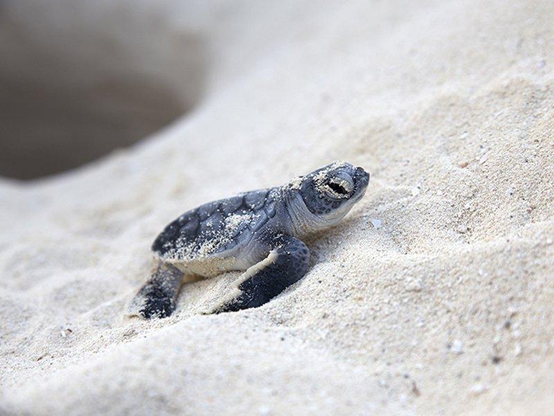 Protegen mas de 3 mil nidos de tortugas marinas en Cancun bj CancunPress